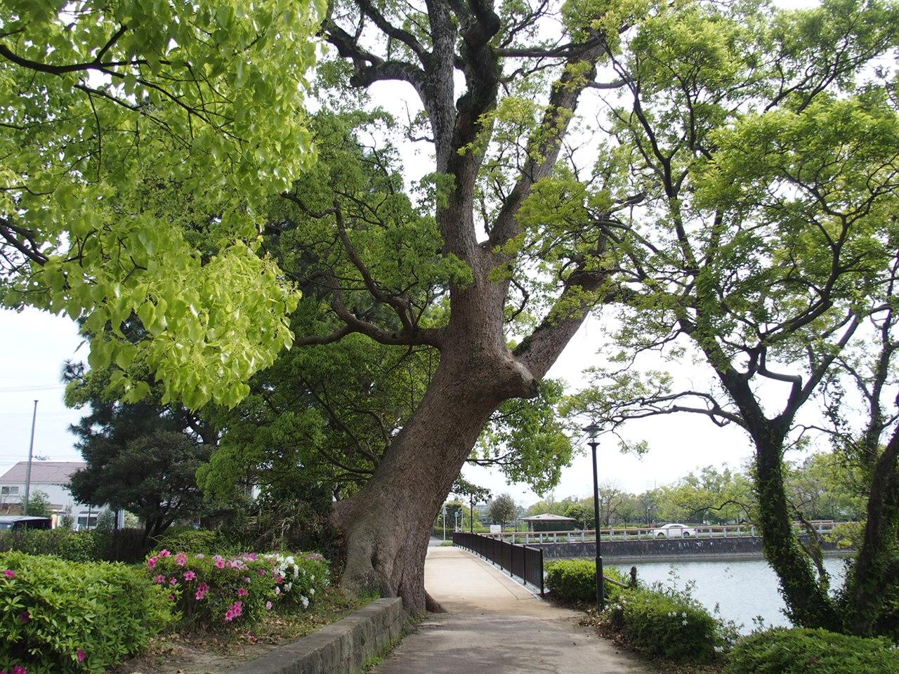 佐賀城の木