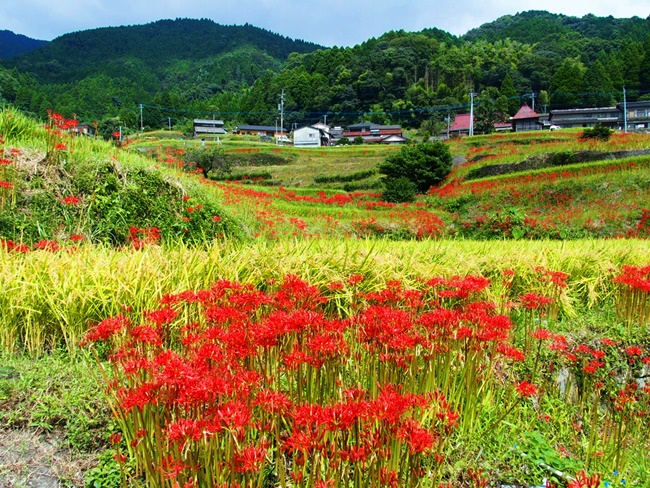 「江里山の棚田」佐賀小城市にある集落の棚田と彼岸花が綺麗でした