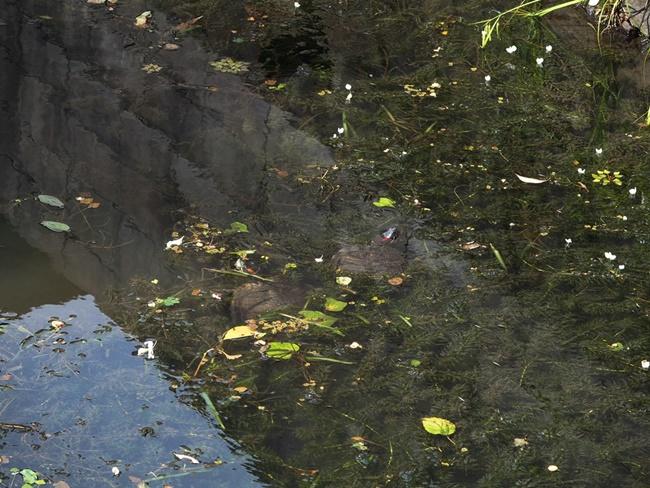 クリークの亀