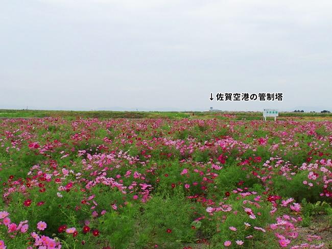 佐賀空港コスモス園5