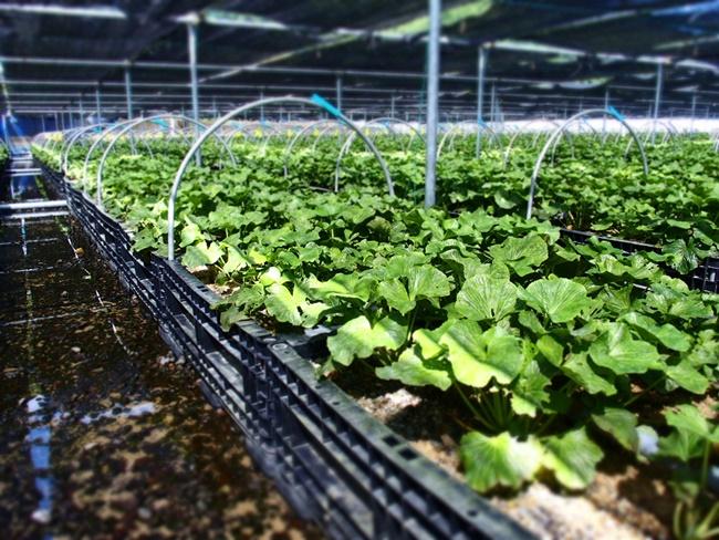 「わさび苑多良岳」佐賀太良町にある九州最大級のわさび農園!わさび好き必見のスポットです。