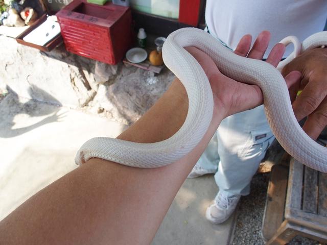 武雄の白ヘビ9