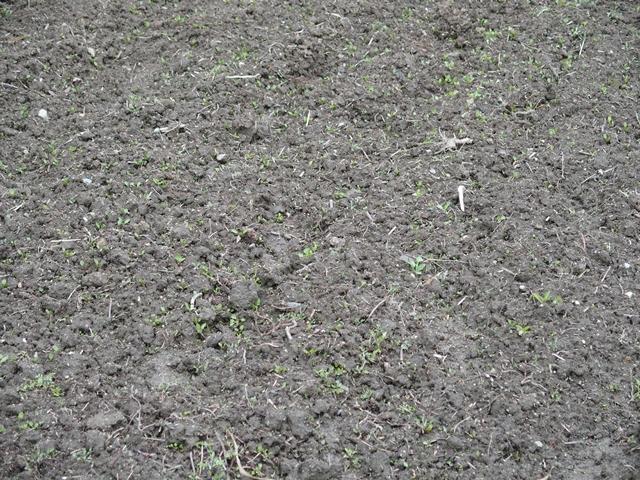 ジャガイモの芽110
